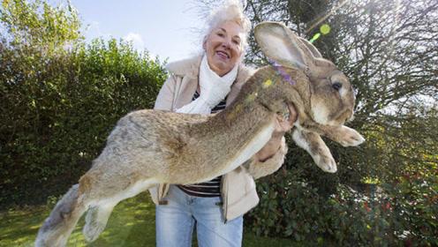 国外巨兔体型超群,一天吃15根大胡萝卜,主人痛诉家底被掏空
