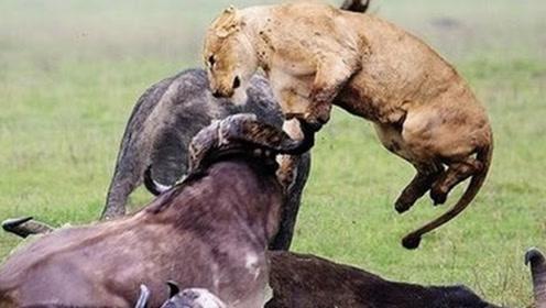 4只狮子围攻野牛,不料却被水牛刺穿身体,镜头记录全过程