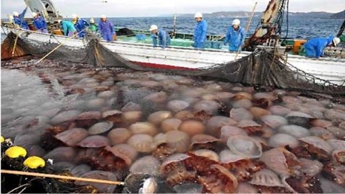 日本人吃起水母来,也毫不留情,抓起来蘸着酱油就直接解决了