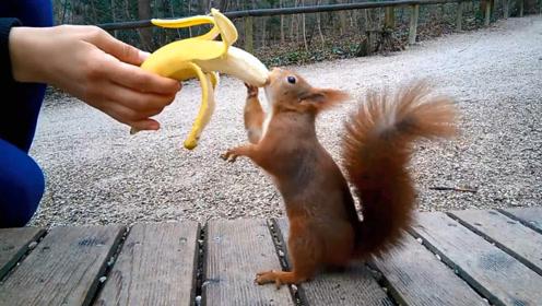 游客用香蕉诱惑松鼠,十几秒后发生了搞笑一幕,动物园没饭吃啊?