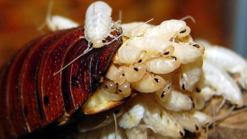 蟑螂的生命力有多强?老外将它脑袋去掉,依旧活了90天!