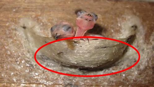 燕窝是燕子的口水制成的吗?专家无奈说出真相,看完大跌眼镜!