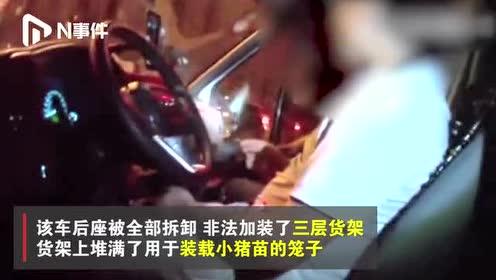 """湖南高速一商务车非法改装,载300头无检疫证""""猪宝宝""""上路"""