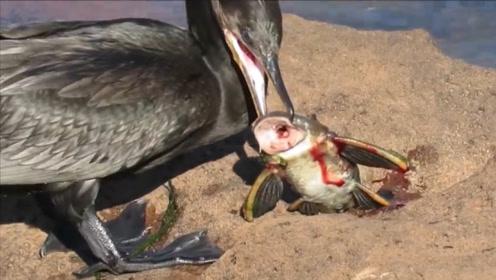 大鸬鹚捕到一条清道夫,本以为能够饱餐一顿,结果吃到怀疑人生!