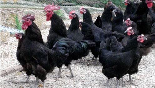 """它被誉为鸡中的""""兰博基尼"""",一只18000元!"""