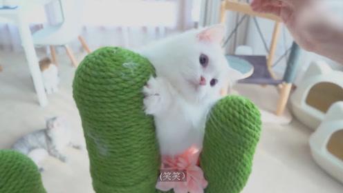 主人买了一个仙人掌爬架,猫咪们迫不及待地爬上去体验