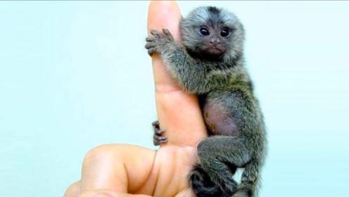 世界上最小的猴子,只有拇指那么大,一只手就可以握住