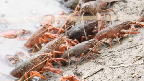 小龙虾并不完全是哈夫病的病因,想吃的龙虾就去吃吧