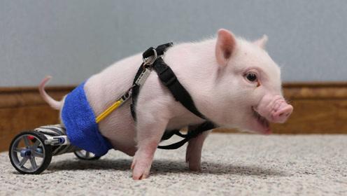 主人给残疾小猪打造轮椅,代替后腿行走,如今比普通猪跑的还快