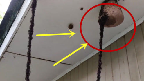 """监控实拍,蚂蚁搭""""人梯""""进攻蜂巢,整个马蜂窝瞬间沦陷!"""