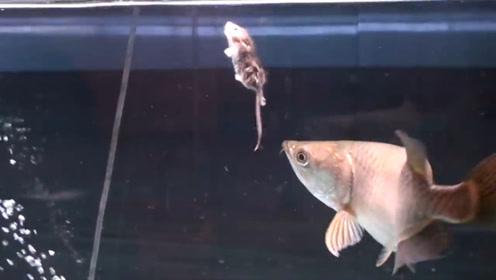 饿了10天的金龙鱼多恐怖?刚把一只活老鼠扔进去,场面瞬间失控