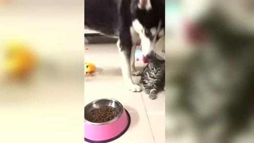 猫:早就跟你说过养狗可以,但是别养二哈这种傻货
