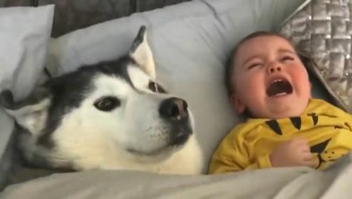 二哈趁主人不注意,钻进宝宝床上,结果画面让人笑喷