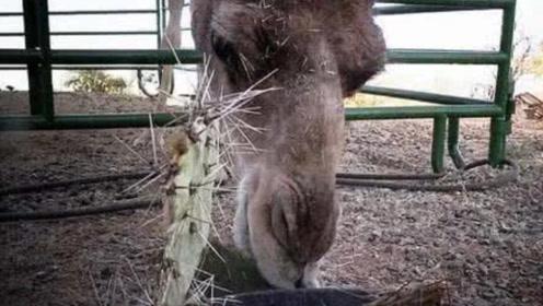 仙人掌那么多刺为何骆驼还爱吃?老外切开一看,瞬间明白了