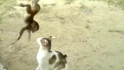 小猴子拽着树枝,一脚踢在猫咪头上,结果被猫咪猛揍一顿