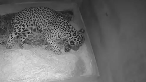 美洲豹幼崽出生第2天消失,疑遭母豹活吃,监控拍下残忍一幕!