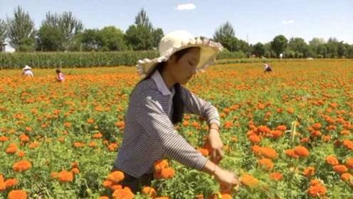 父母外出打工无音讯,16岁少女暑期钻花丛摘花挣学费