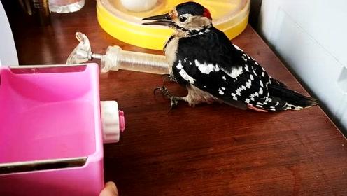 啄木鸟撞玻璃上站不起来了,经过一天的恢复,脖子终于可以动了