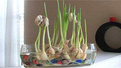 才知道,水培大蒜方法这么简单,学会了天天吃新鲜蒜苗,都试试吧