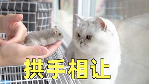 为哄猫咪开心,仓鼠被迫营业与猫玩耍,猫:好运来
