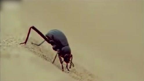 沙漠昆虫巧妙取水,激发人类灵感治理沙漠