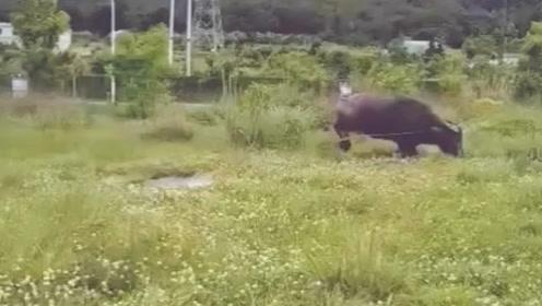 这是过完情人节后的公牛?洗个澡还要翻跟头,就这么开心?