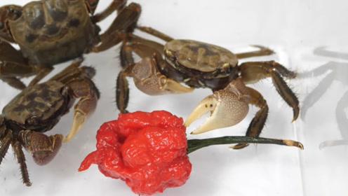 """男子用""""死神辣椒""""喂螃蟹,螃蟹越吃越起劲,难道不怕辣?"""