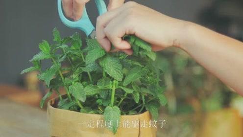 农村这7种能驱蚊虫植物,家中种一盆,再也不用买蚊香了!