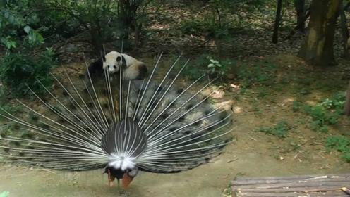 孔雀开屏向熊猫炫耀,最后终于忍不住了,熊猫:我国宝我怕谁!