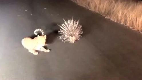 美洲豹捕食豪猪场面真是笑死人!