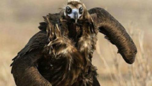 网传老鹰40岁为脱胎换骨,拔指甲拔尖喙,鹰:你拔个给我看看