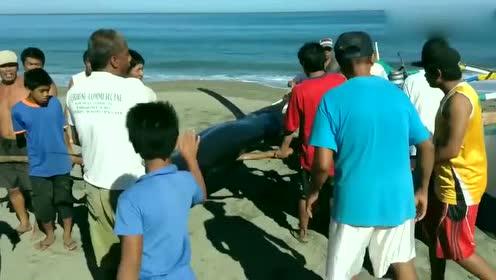 村民刚刚捕获一条大家伙,十多个人齐力抬往村里去