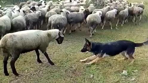羊群中的头领最近有点膨胀,它竟然不服德牧,看来是皮痒了!