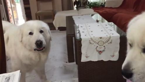 大白熊犬阿兰罗恩闹别扭了,互相不搭理对方,感觉两小可爱都委屈