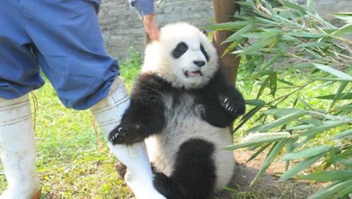 """熊猫睡觉被喊醒,气得和奶妈""""对骂"""",原以为吵不过,谁料是王者"""