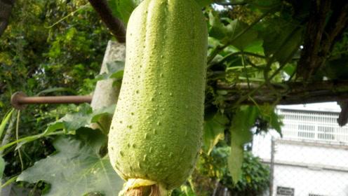 入秋后要多吃丝瓜,祛湿消肿,还能帮助肝脏排出毒素,越吃越健康