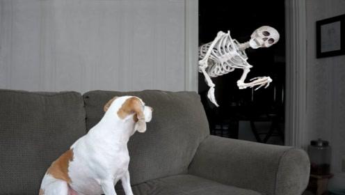 铲屎官准备恶作剧自家狗狗,准备一个骷髅突然出现,狗狗:加餐吗