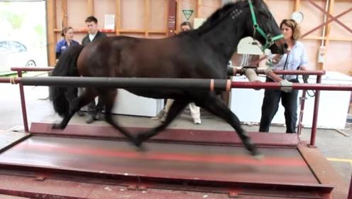 马能跑多快?把马放到跑步机上,它的速度让人都惊呆了!