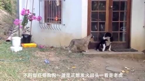 狗狗正在看家,突然一转身看见了它,下一秒瞬间慌了!