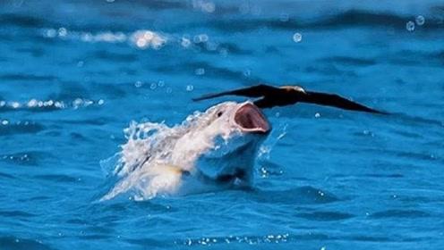 专门抓鸟吃的鱼,飞出海面一米高,这操作有点搞笑