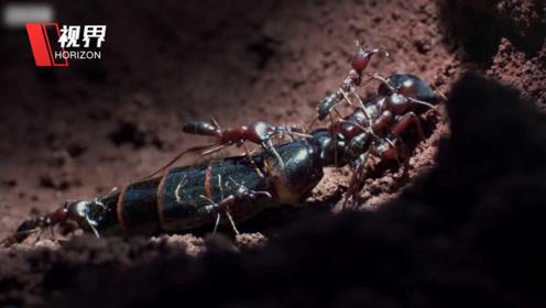 蚁巢内部罕见微摄影画面曝光 雄蚁为见蚁后竟自残求死