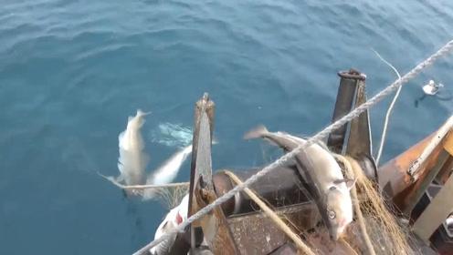深冷水域的鳕鱼捕捞,一次捕捞量惊人!