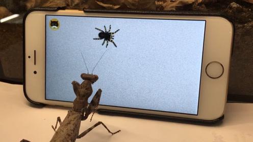 主人给螳螂看蜘蛛视频,下一秒千万憋住笑!镜头拍下全过程