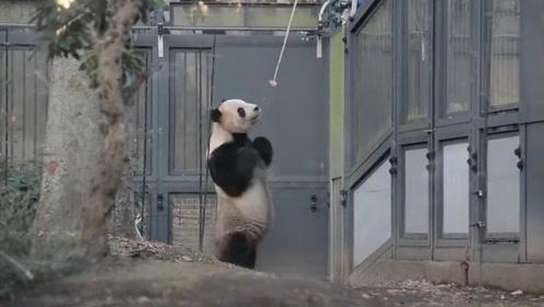 永不为奴的熊猫,竟化身为两腿熊猫人,这是四川人假扮的吧?