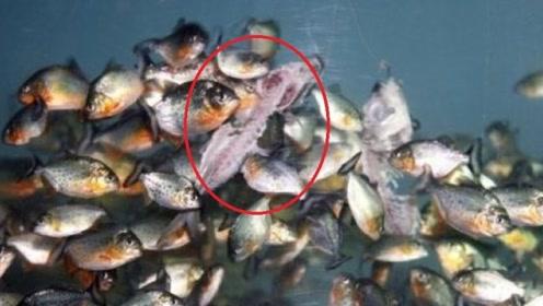 清道夫到底有多强?饿一个月的食人鱼遇见清道夫,镜头记录全过程