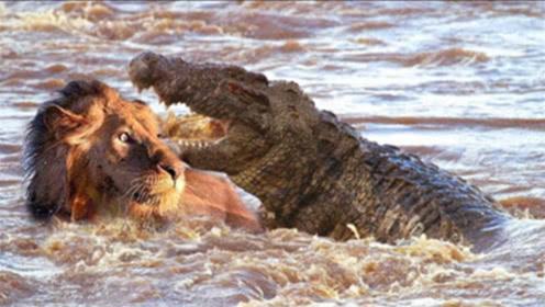 史诗级争霸!狮子和鳄鱼打架,狮子:不光陆地,水里也是我的地盘