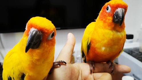 花花和敦敦:好久没和小鹦鹉玩儿飞手游戏了,看看他们还熟不熟练