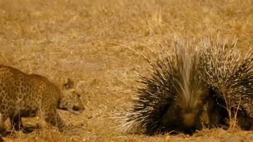 面对豪猪的棘刺,顶级掠食者美洲豹也得吃亏,难道它真的无敌?