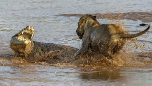 河流霸主鳄鱼,遇到草原霸主狮子会发生什么?不是亲眼看到都不信