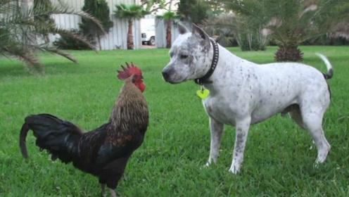 当鸡和狗狗生活在一起,会发生什么?场面让人捧腹不已!